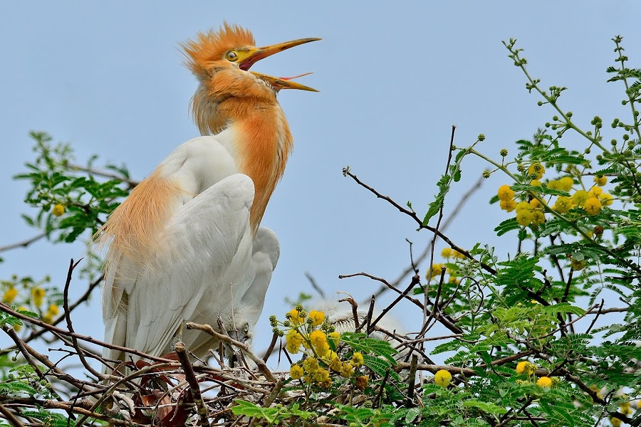 So Close...So colorful ! by Subrata Kool - Animals Birds ( animals, breeding, nesting, colorful, plumage, cattle egret, egrets, chicks, birds, egret, animal )