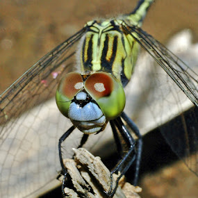 Dragonfly by Marlon Managi - Animals Insects & Spiders ( facet eyes, hold on, take a rest, dragonfly )