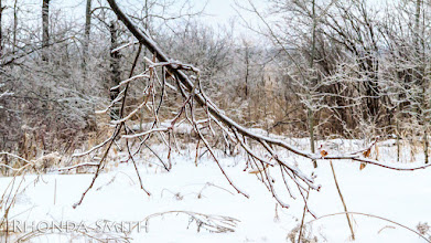 Photo: A tree branch weighed down by the ice.