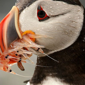 Krill for the Kid by Herb Houghton - Animals Birds ( alcid, atlantic puffin, seabird, puffin,  )