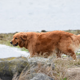 Happiness on the Beach by Christine McEwan - Animals - Dogs Portraits ( golden retriever, beach, happy, dog, outoors, strolling )
