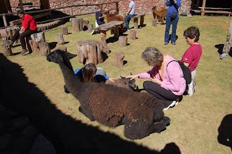 Photo: llamas