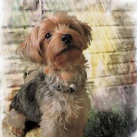 Strike a pose by Melissa Davis - Digital Art Animals ( yorkie, yorkshire terrier, digital art, missysphotography, puppy )