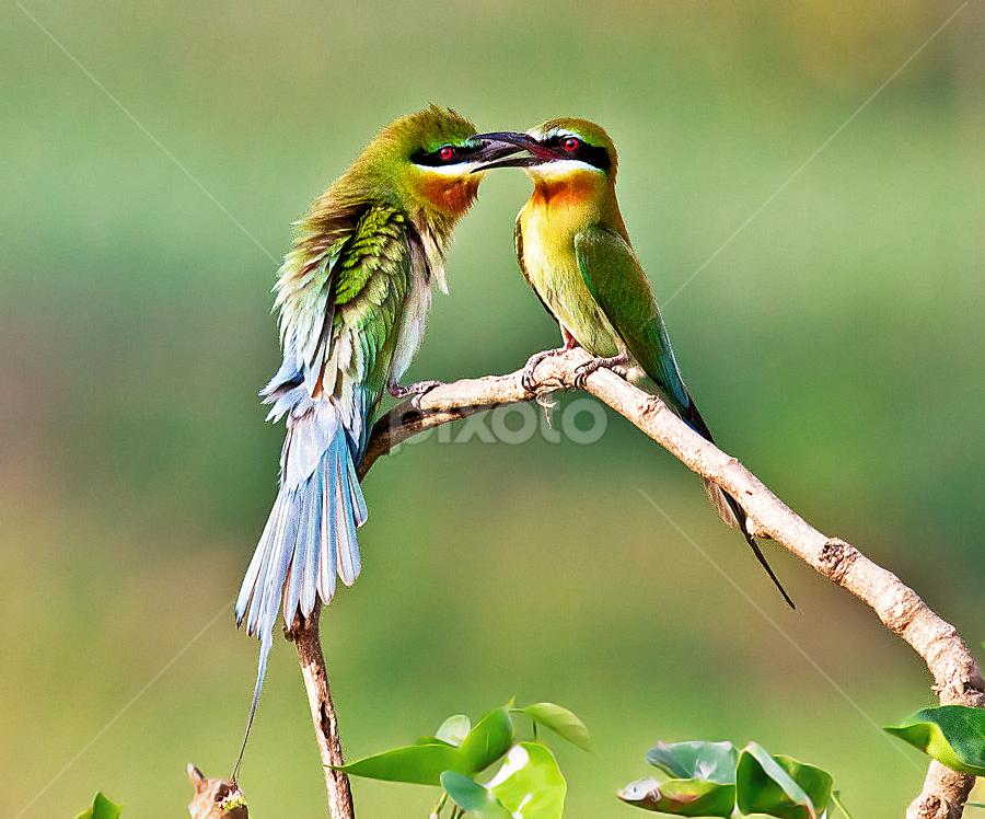 Mating Mood by Jineesh Mallishery - Animals Birds ( jineesh, birds, beaeater )