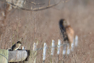 Photo: eastern pheobe with barred owl in the background photo by Chris Adams, flycatcher ID by Jeff Liechty