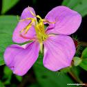 Malabar melastome, Indian rhododendron