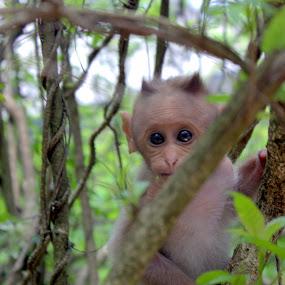 Infant Monkey  by Karthic Kumar - Animals Other Mammals ( animals, nature, monkey )