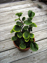 Photo: Babysitting J.D.'s other plant from IKEA.