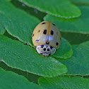 Ten-spotted Lady Beetle