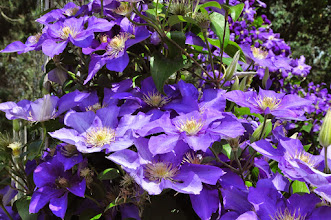 Photo: Clematis 'Ascotiensis' 1
