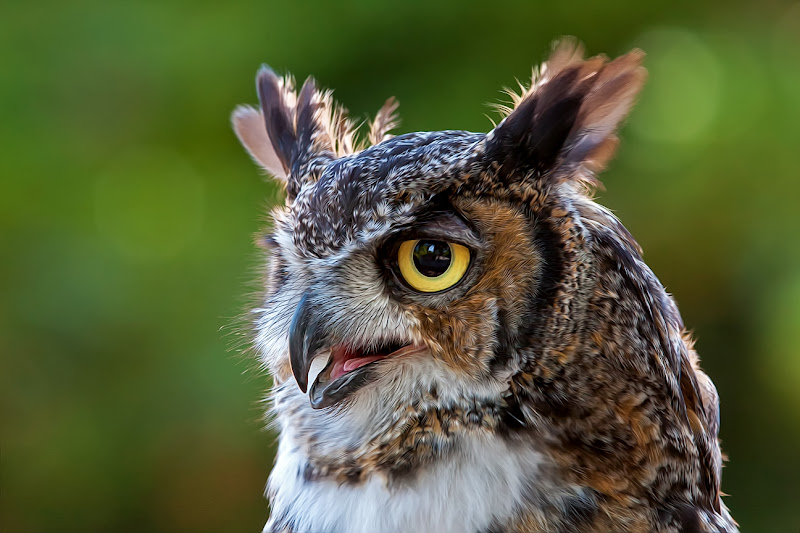 Photo: Great Horned Owl #paintography  curated by +Ray Bilcliff +Sherry McBriar  #plusphotoextract