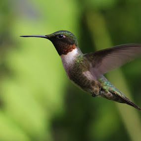 Ruby Throated Hummingbird profile by Bruce Arnold - Animals Birds (  )
