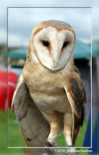 Photo: A barn owl (endangered) on display with the Mo Conservation Dept.  Owls fly totally silent — because even their feathers are hollow inside.