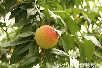 Photo: 拍攝地點: 梅峰-桃花廊 拍攝植物: 水蜜桃 拍攝日期:2012_07_30_FY
