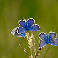 Blu Butterflies di
