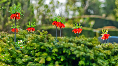 Photo: This spring flower is native to the Orient. Now this lilies-like flower blooms also with us. (Fritillaria imperialis)