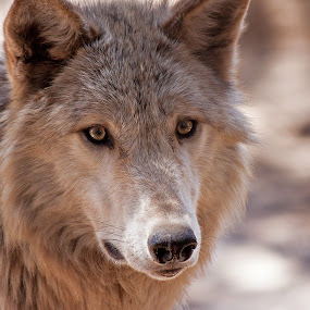 Closeup Wolf by Dale Fillmore - Animals Other Mammals ( concentration, intense eyes, wolf, closeup, animal,  )