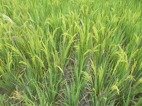Photo: Doc Joey's grain-filled rice plants.