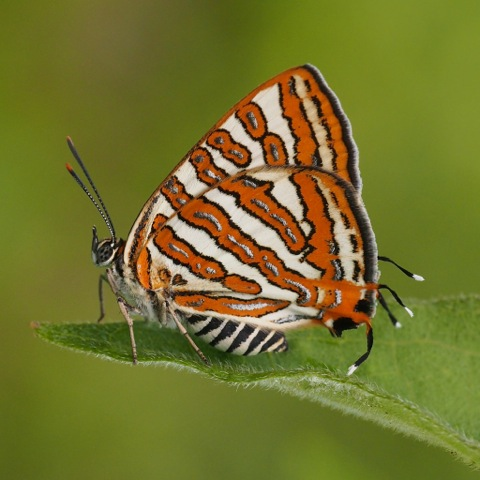Plumbeous Silverline (female)