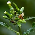 Mottled Pyrausta Moth