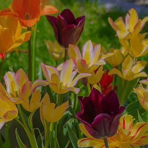 tulips-2April 30, 2015-2.jpg