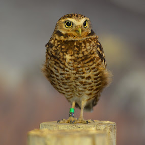 Burrlowing Owl by  J B  - Animals Birds ( burrowing owl, animals, birds, portrait, owls )