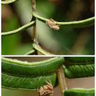 Rhene flavigera 黃寬胸蠅虎