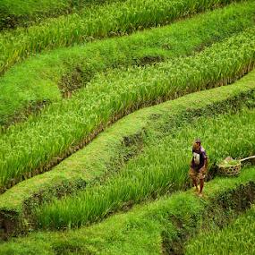 Working the rice fields by Dwayne Flight - Landscapes Prairies, Meadows & Fields (  )