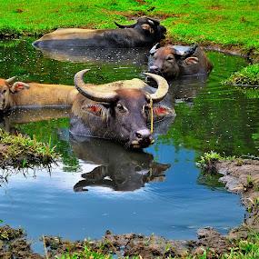 Water Buffalo by Greg Crisostomo - Animals Other Mammals ( buffalo, mud, family, carabao, water buffalo,  )
