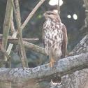 Grey hawk (juvenile)