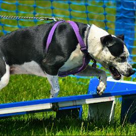 staffy by Nic Scott - Animals - Dogs Playing ( staffy, dog, staffordshire bull terrier )