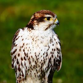 Very cute falcon by Gérard CHATENET - Animals Birds