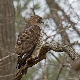 Perched by Bill Diller - Animals Birds ( raptor, birds of prey, michigan, broad-winged hawk, bird of prey, nature, bird, tree limb, perched, birds, hawk, wildlife )