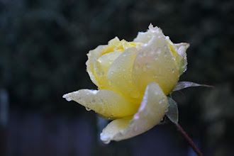 Photo: Winter Rose.