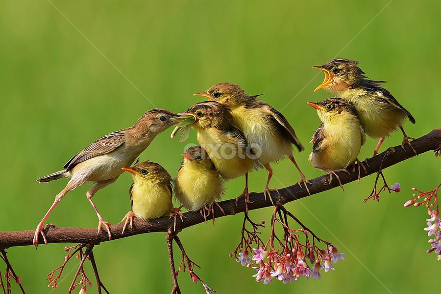 Induk dan 6 anaknya by Ajar Setiadi - Animals Birds ( bird, feeding, animal )