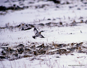Photo: Snow Bunting in flight