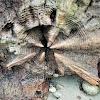 Driftwood (Western red cedar)
