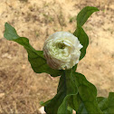 Arabian jasmine (double flowered cultivar )