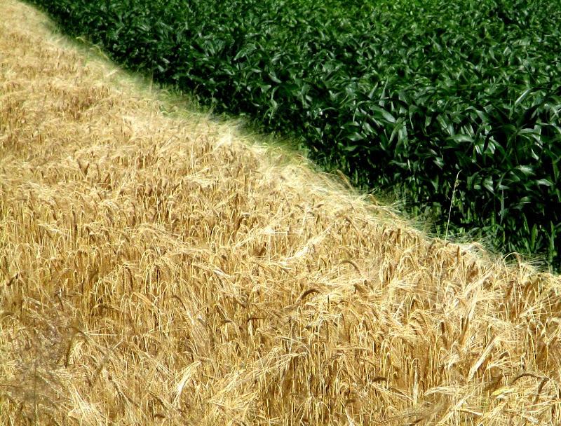Il grano e il turco di LunaStorta