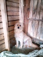Photo: Mózes. Szuka.  Egyik szeme hályogos, de lehet hogy műtéttel helyrehozható. Tartózkodó természetű a kutyákkal szemben, ezért egyedüli kutyának ajánljuk. Nagyon vágyik a szeretetre, csendes, akár elül egész nap csendesen egy kis sarokban is. Szereti a gyerekeket is. Nehéz körülmények közül mentett kutyus, akinek nagyon kellene egy igazi, szerető gazdi, akinek csak ő a mindene.  Érdeklődni: 06-70-945-0612, 06-20-248-9282 számon. Váczikai Cerberus Alapítvány- Paks   további adatok:   http://allatok.info/animal.php?a=10452632