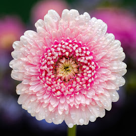 Gerbera flower by Jim Downey - Flowers Single Flower ( red, gold, white, wet, petals )