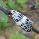 Day-flying Zygaenid Moth