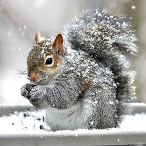 Snowy Muncher by Betty Arnold - Animals Other Mammals ( grey squirrel, mammal, squirrel, animal,  )