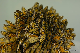 Photo: The Monarch is one of the longest-lived butterflies and its epic yearly migration is one of the wonders of the natural world.