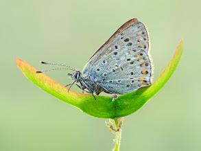 Photo: Lycaena tityrus, Cuivré fuligineux ou Argus myope, Sooty Copper  http://lepidoptera-butterflies.blogspot.com/