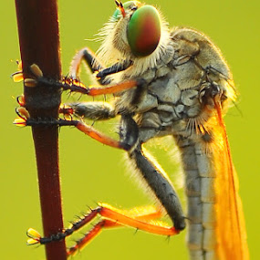 Robber fly by Riza Arif Pratama - Animals Insects & Spiders