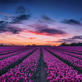 Sunset Over the Tulip Field by Jan Murphy - Landscapes Sunsets & Sunrises ( field, sunset, pink, tulips, flowers, colours,  )
