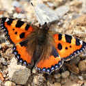 The small tortoiseshell