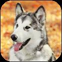 Siberian Husky Wallpaper icon
