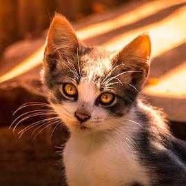 Cute Cat by Matija Krog - Animals - Cats Portraits ( kitten, cat, female cat, kiten, portrait, cute )